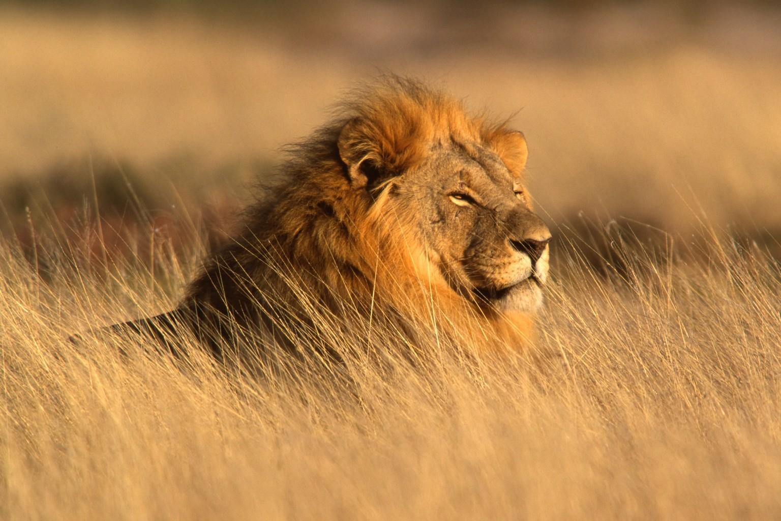 лев с большой гривой лежит в траве, скачать фото