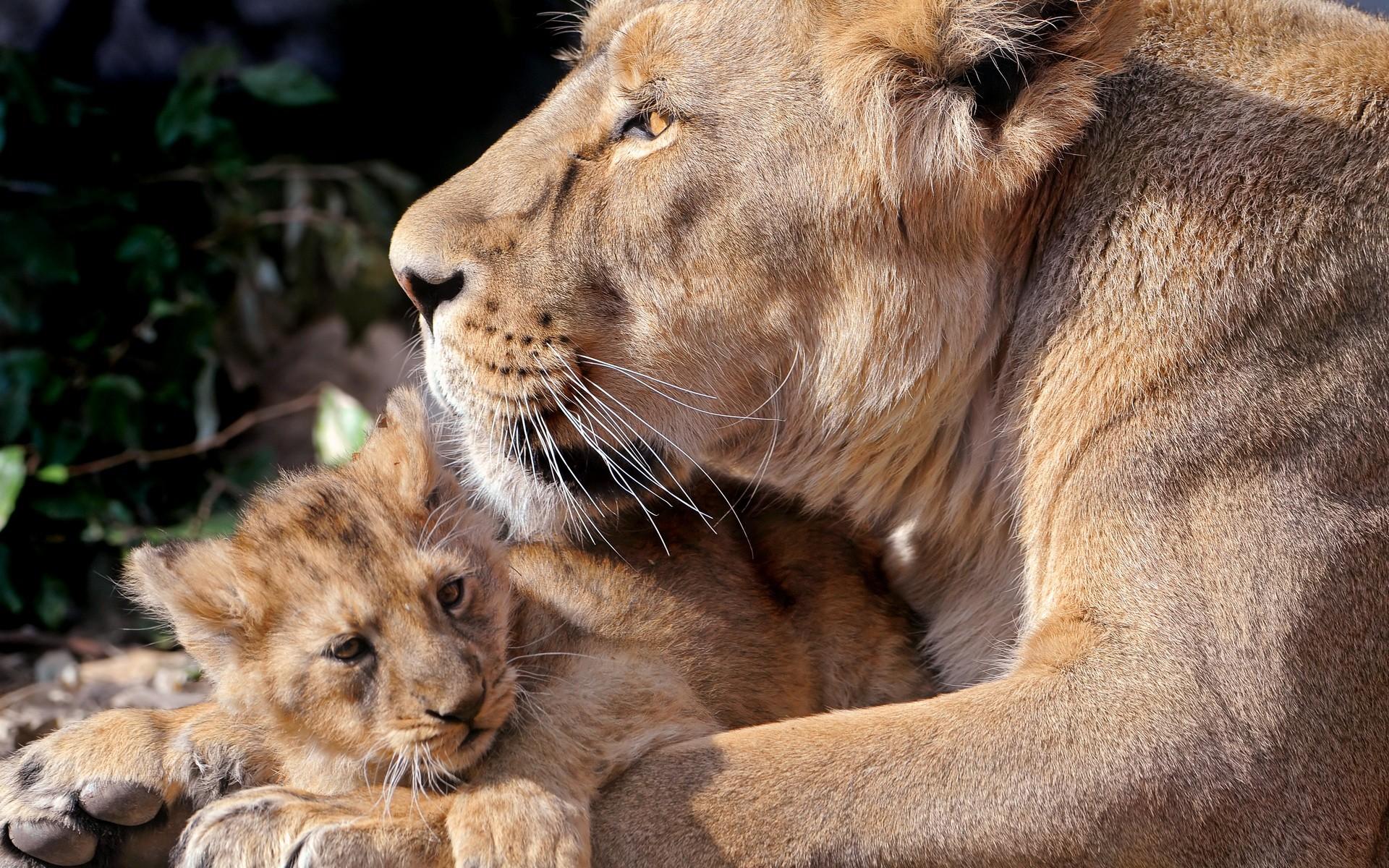 львица и маленький львенок, скачать фото