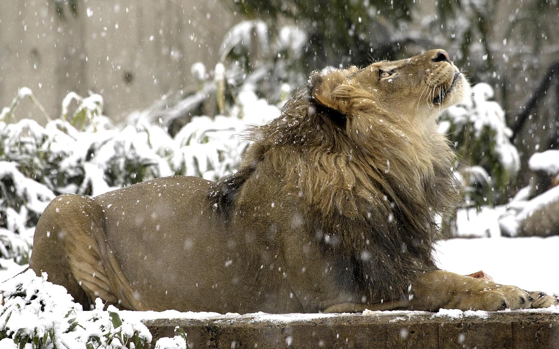 лев лежит на снегу, лев и снег, скачать фото, обои для рабочего стола