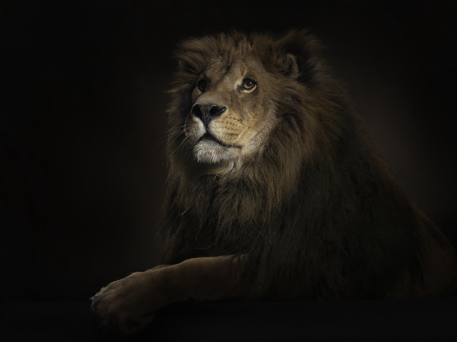 большой лев, скачать фото, обои для рабочего стола, львы, lion wallpaper