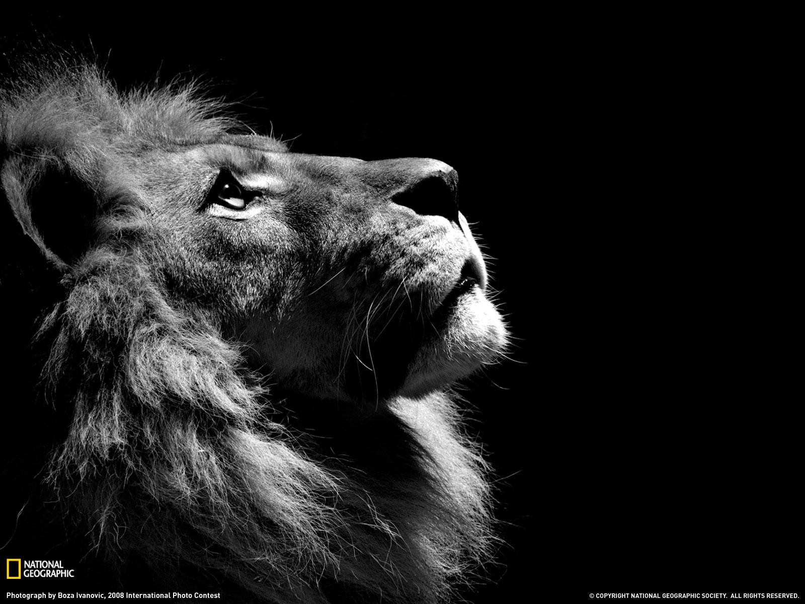 лев на черном фоне, скачать фото, обои для рабочего стола, lion