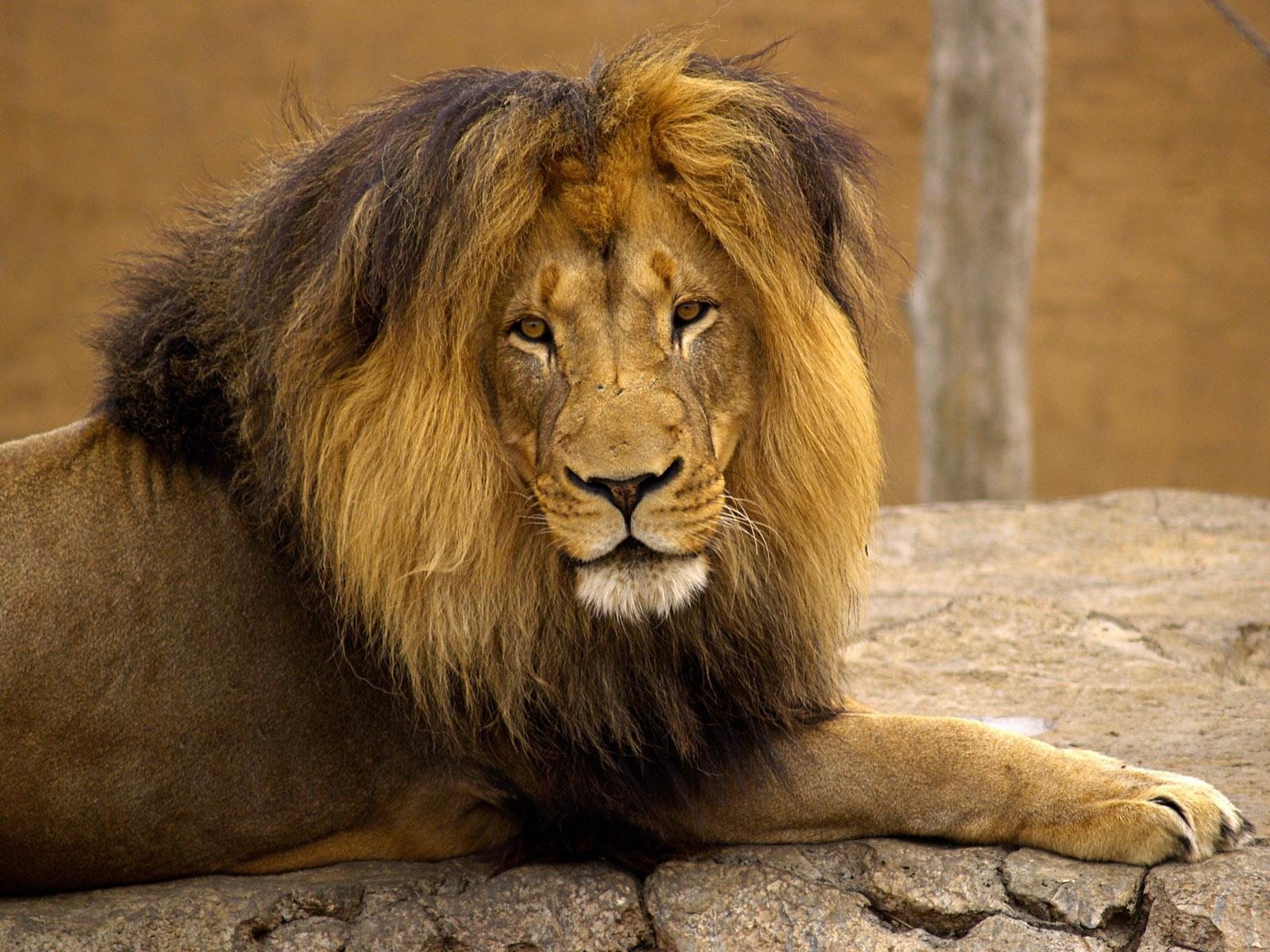 лев, фото, обои на рабочий стол, скачать бесплатно, львы