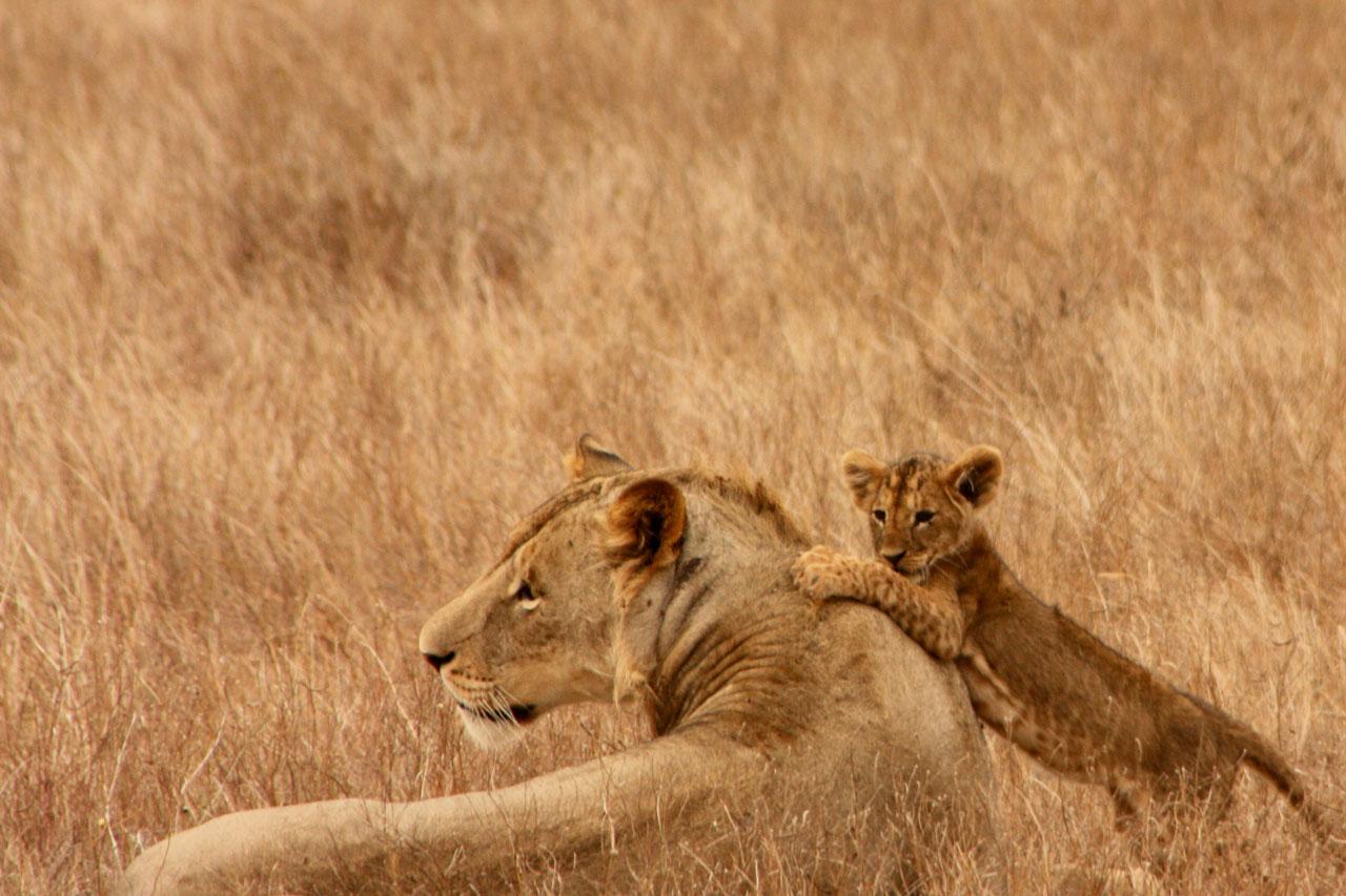 львица лежит с маленьким львенок, львенок играется, скачать фото, обои на рабочий стол