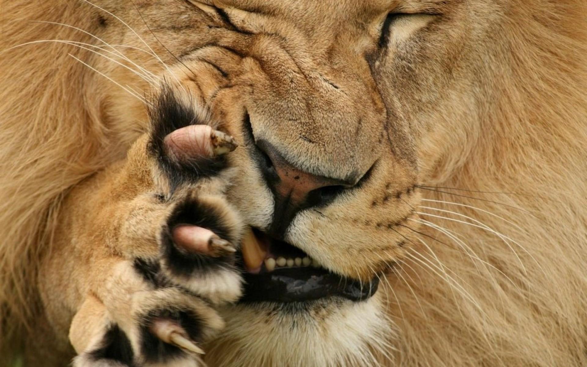 когти льва, лев грызет лапу, скачать фото