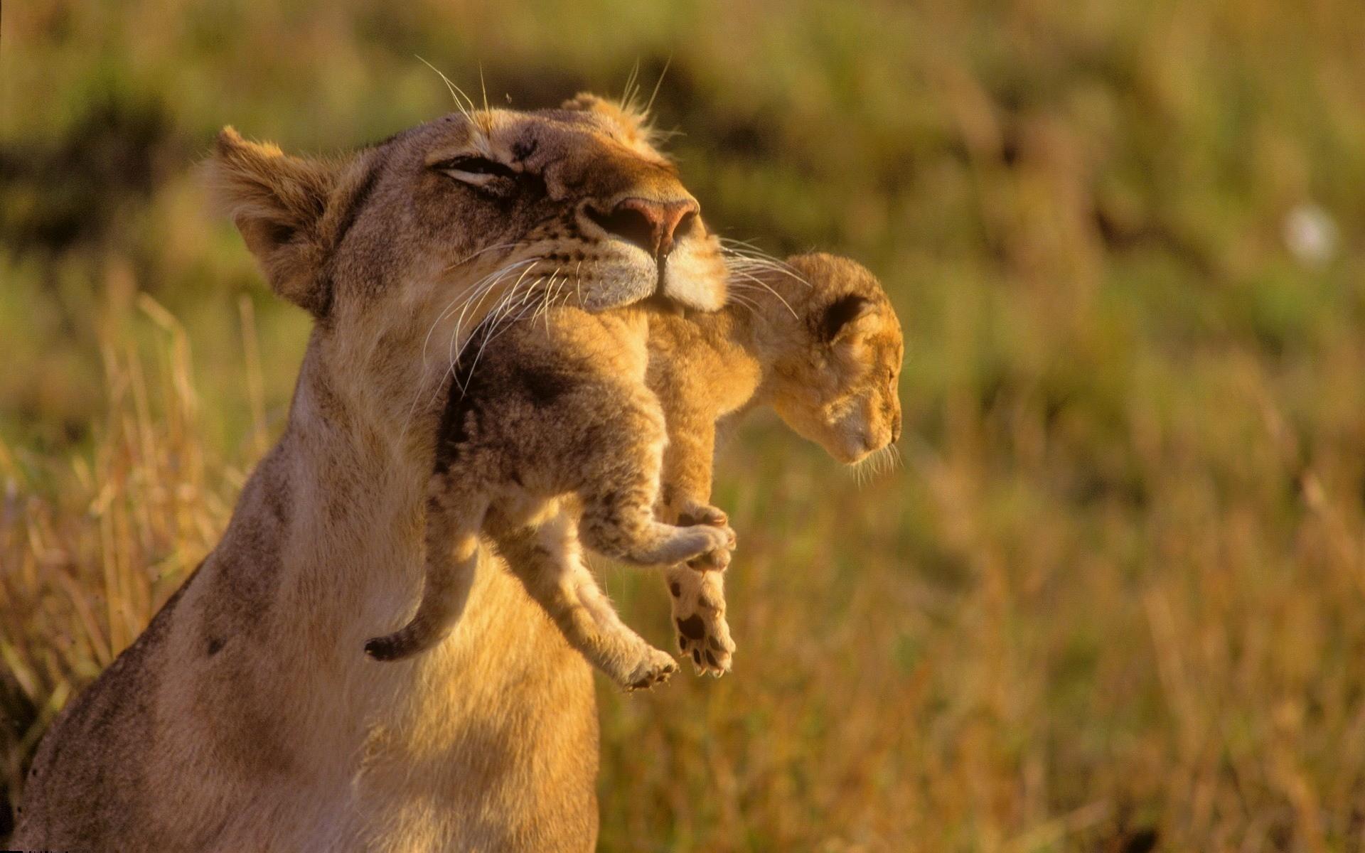 львица несет львенка, скачать фото, обои для рабочего стола