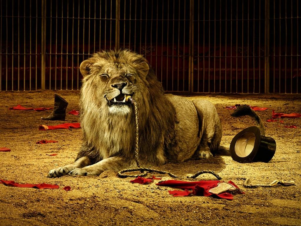 лев съел дрессировщика, скачать фото, обои для рабочего стола, lion