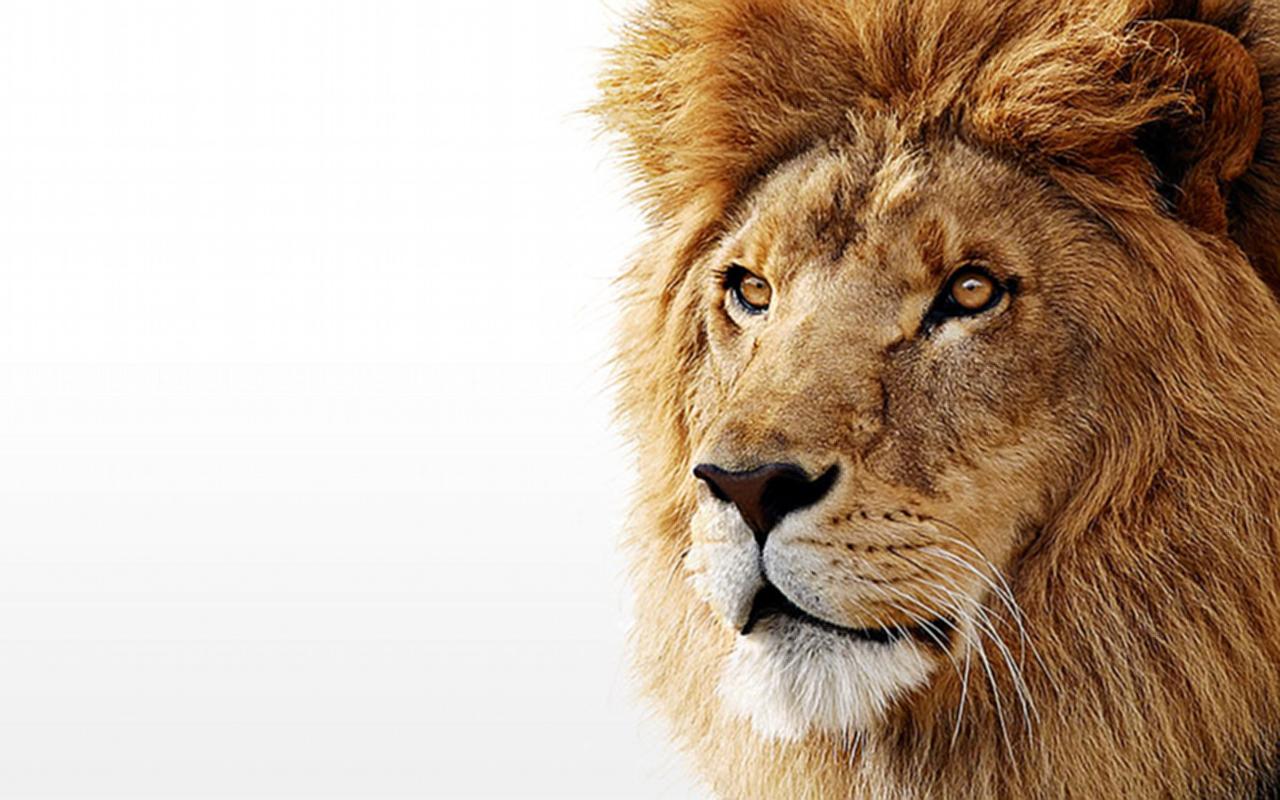 Лев, фото, обои для рабочего стола, львы, lion wallpaper, на белом фоне