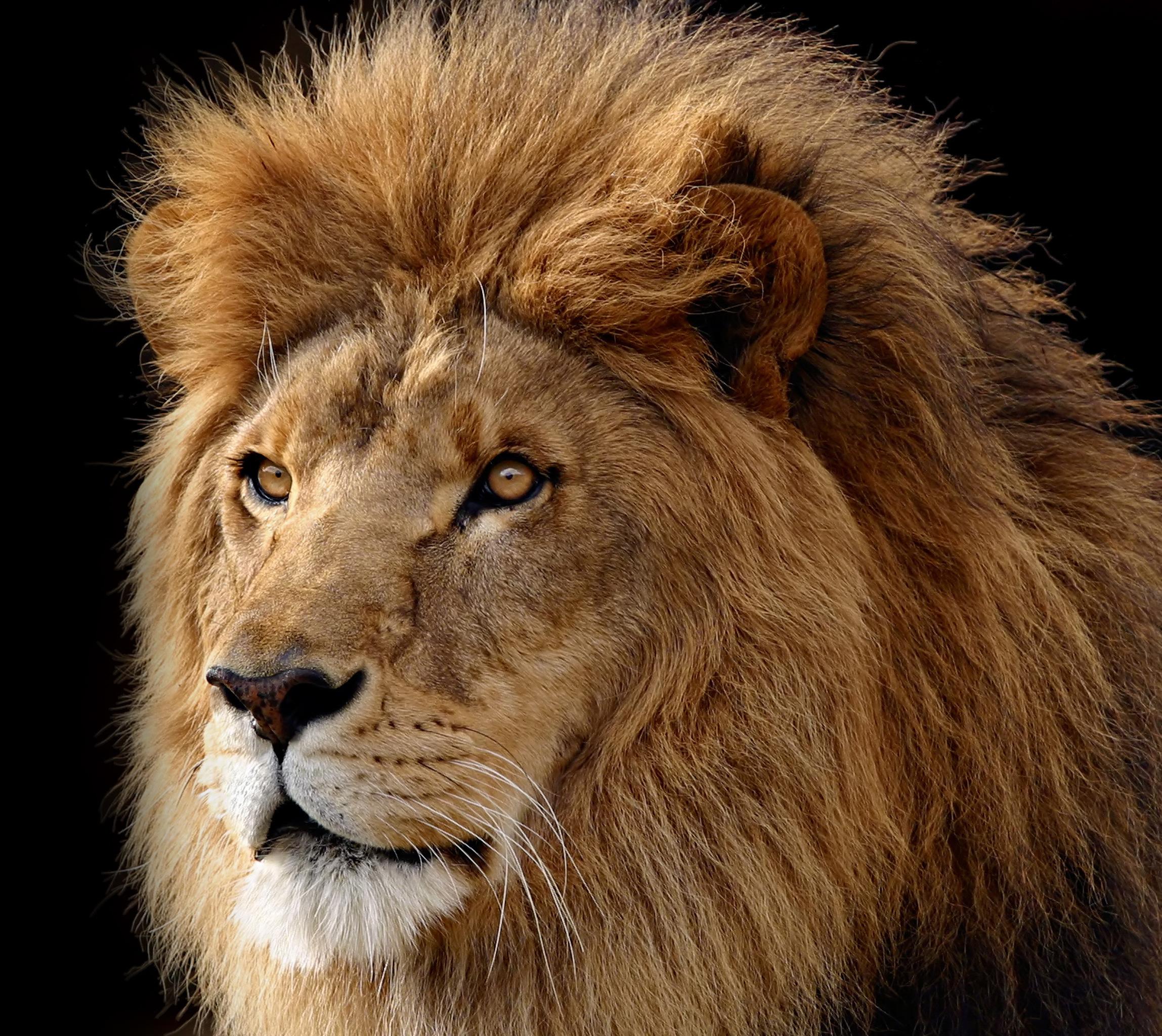 Лев, фото, обои для рабочего стола, львы, lion wallpaper, на черном фоне