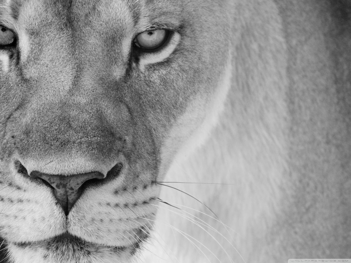 львица, скачать фото, обои на рабочий стол, lions