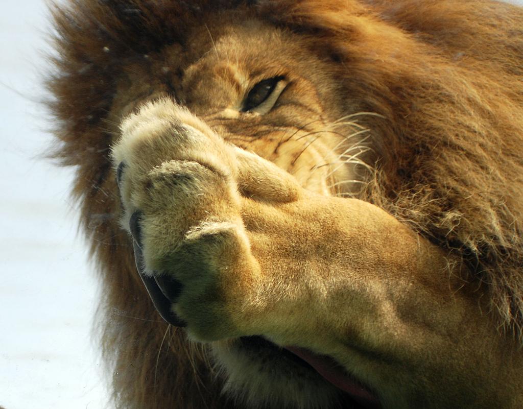 лев протягивает лапу, скачать фото обои на рабочий стол
