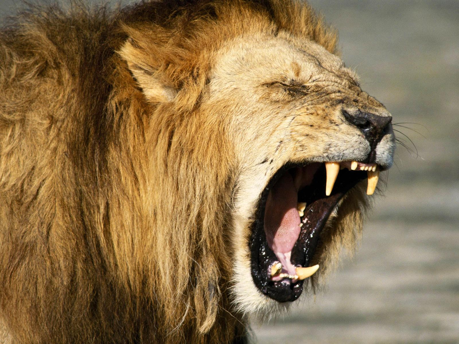 лев рычит, оскал льва, зубы, скачать фото