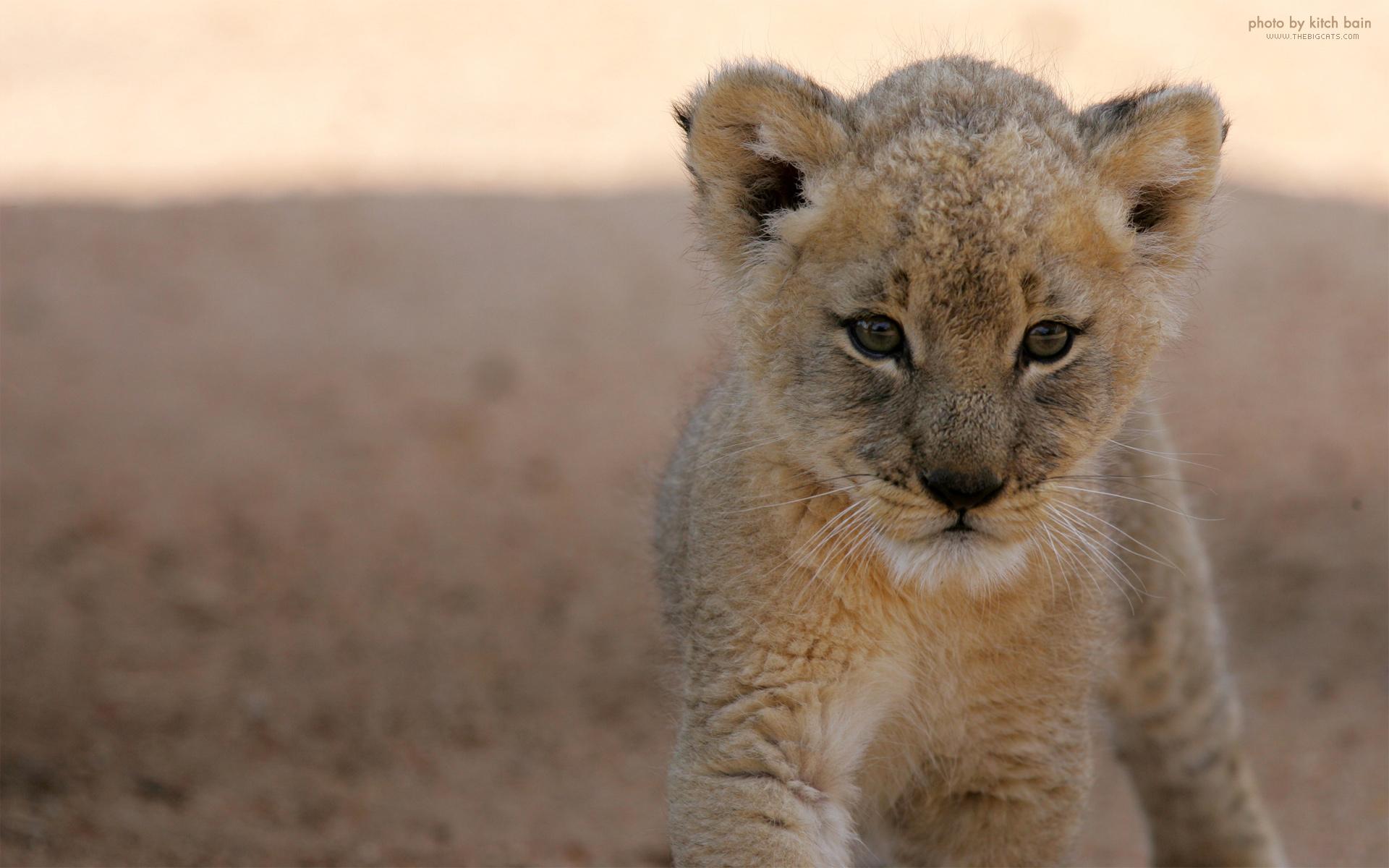 маленький милый львенок, скачать фото, обои для рабочего стола