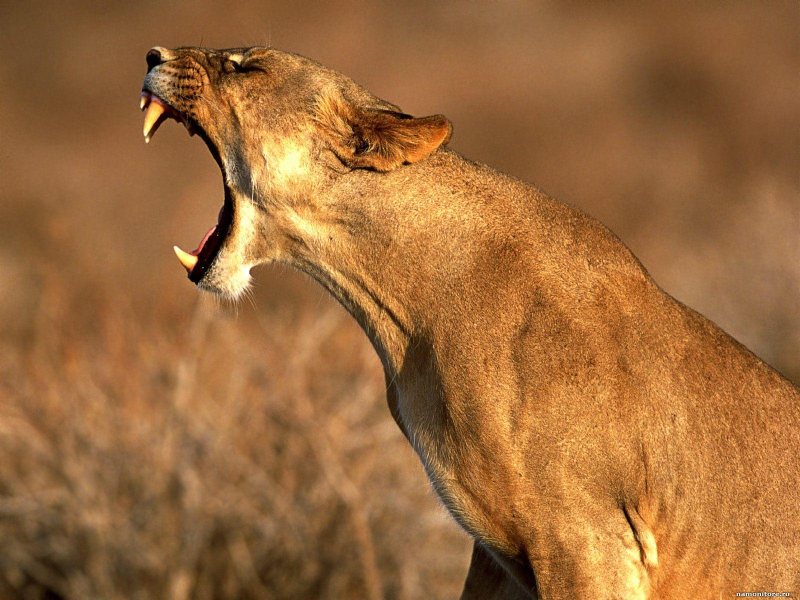 львица скалится, оскал, зубы, клыки, скачать фото, обои для рабочего стола