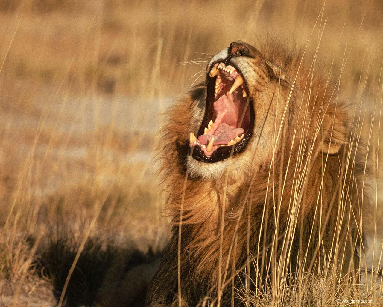 лев зевает, скачать фото, обои на рабочий стол, lion wallpaper