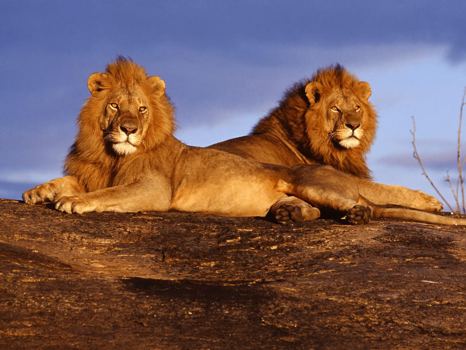 2 льва лежат, скачать фото, обои для рабочего стола, львы, фото львов, бесплатно