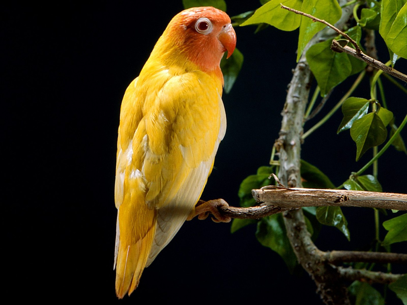 желтый попугай, скачать фото, обои на рабочий стол