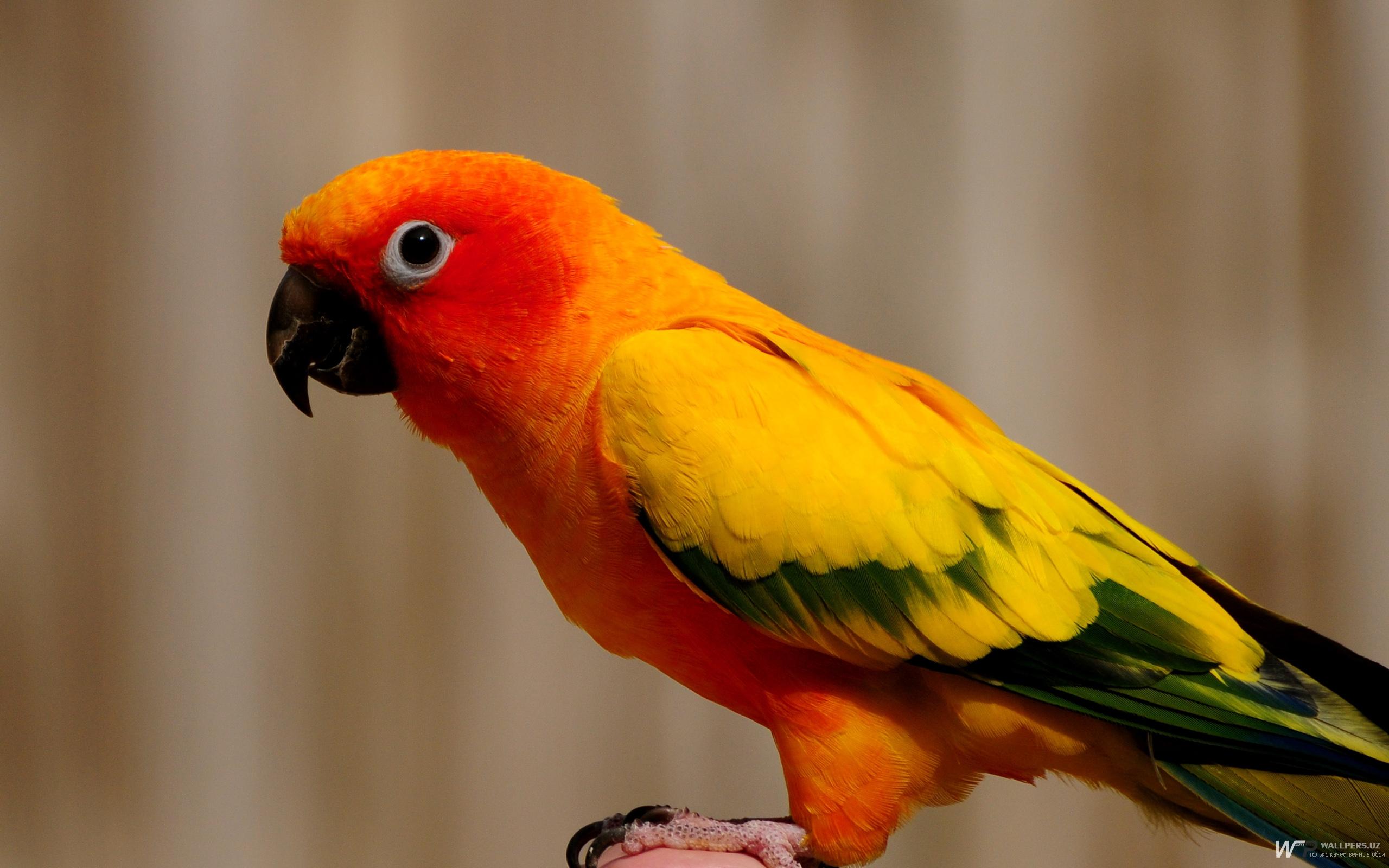 разноцветный попугай, скачать фото, обои для рабочего стола