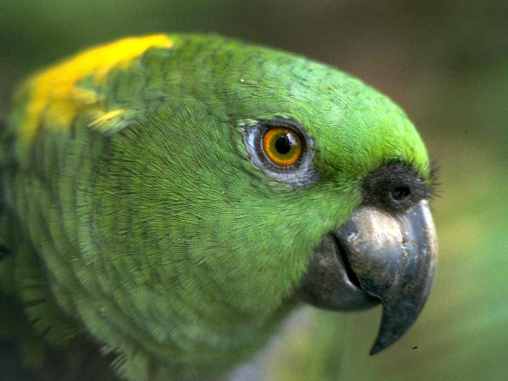 Зеленый попугай, голова, клюв, скачать фото, обои на рабочий стол