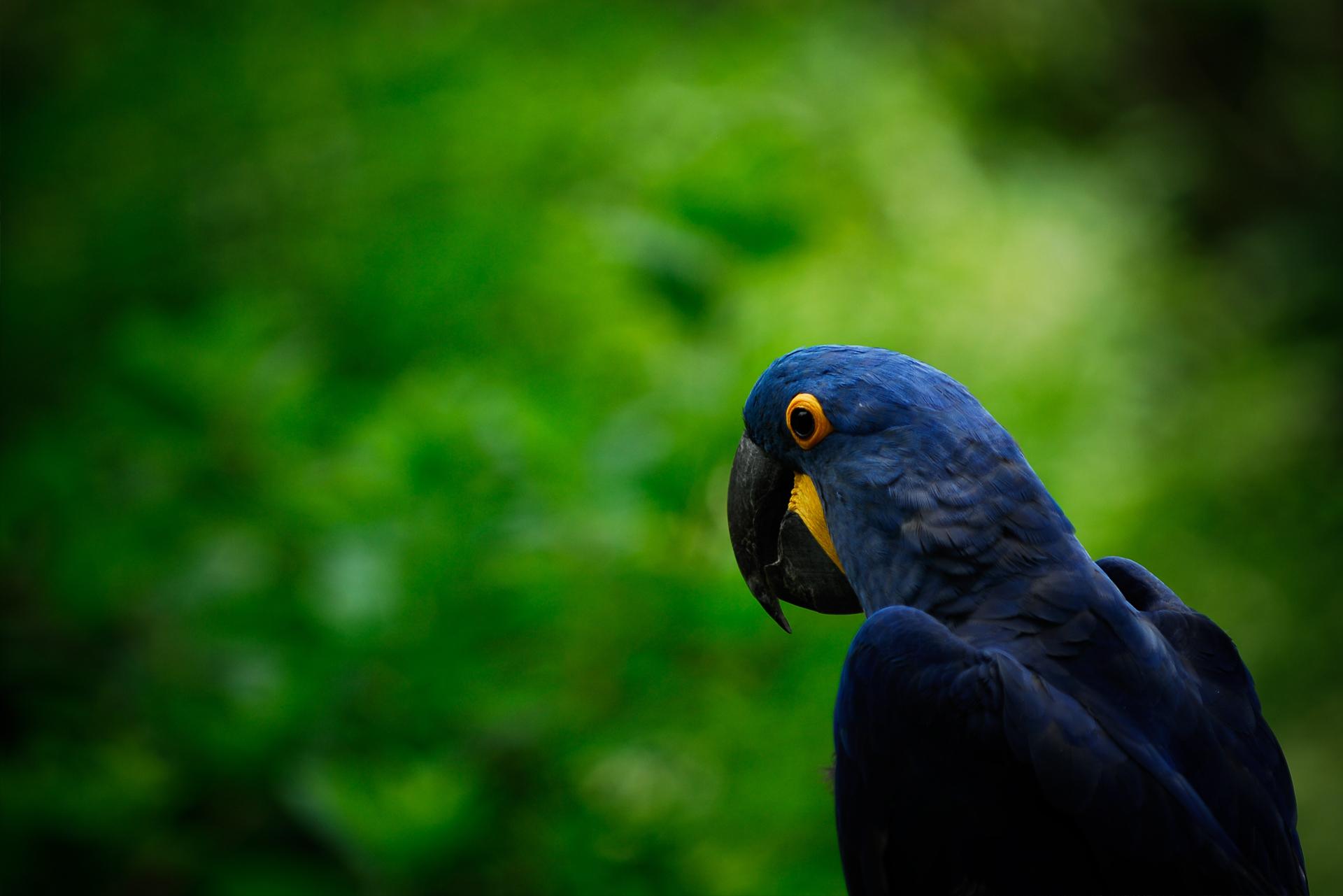 синий попугай но фоне листвы скачать фото, обои для рабочего стола