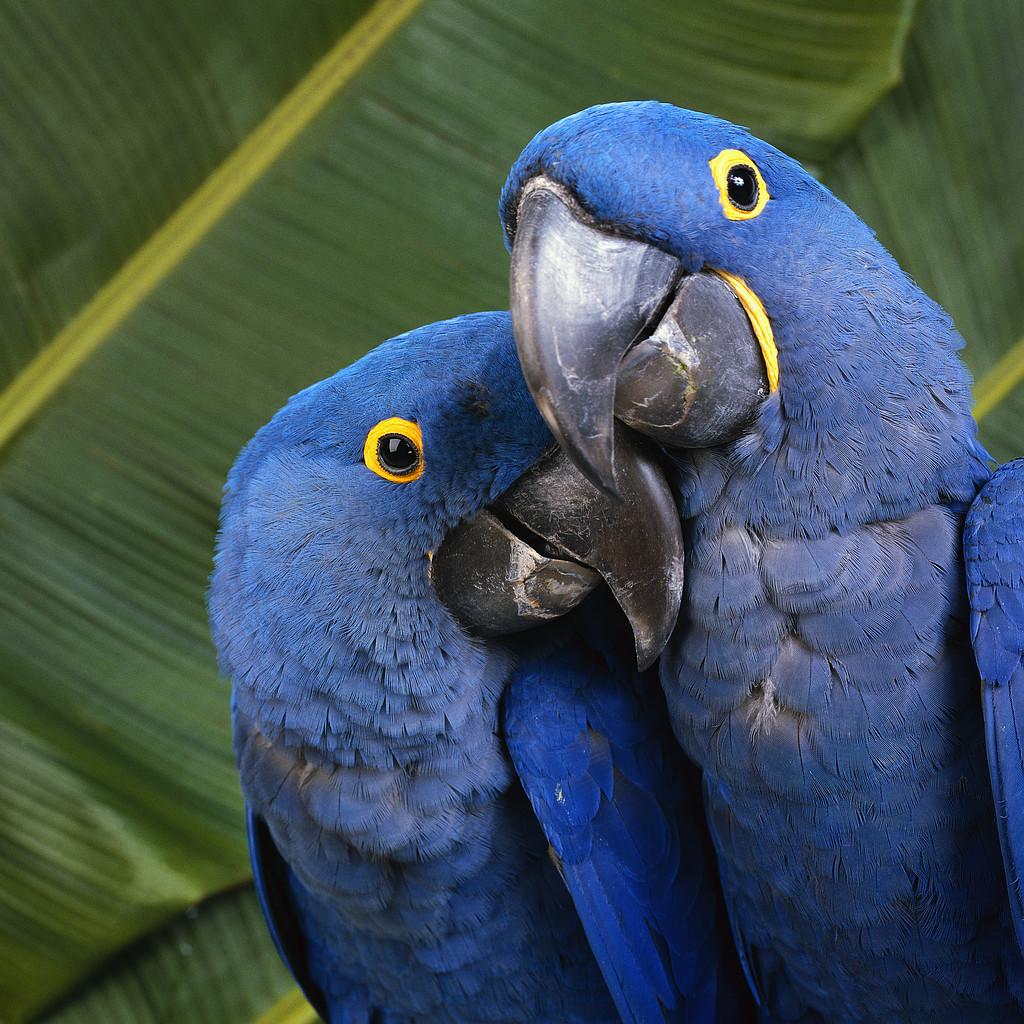 пара синих экзотических попугаев, скачать фото, обои для рабочего стола