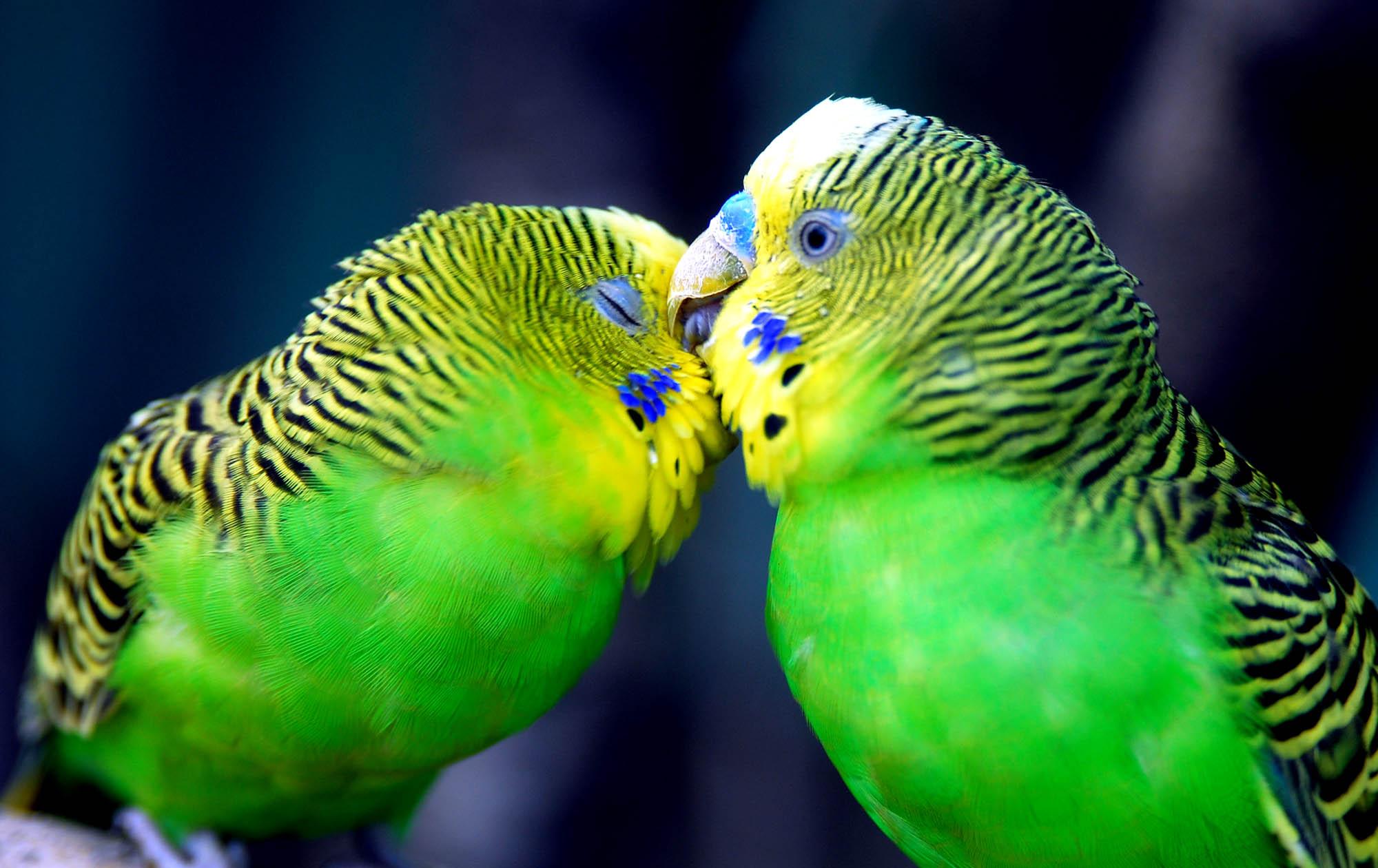 парочка волнистых попугайчиков целуется, скачать фото, обои для рабочего стола