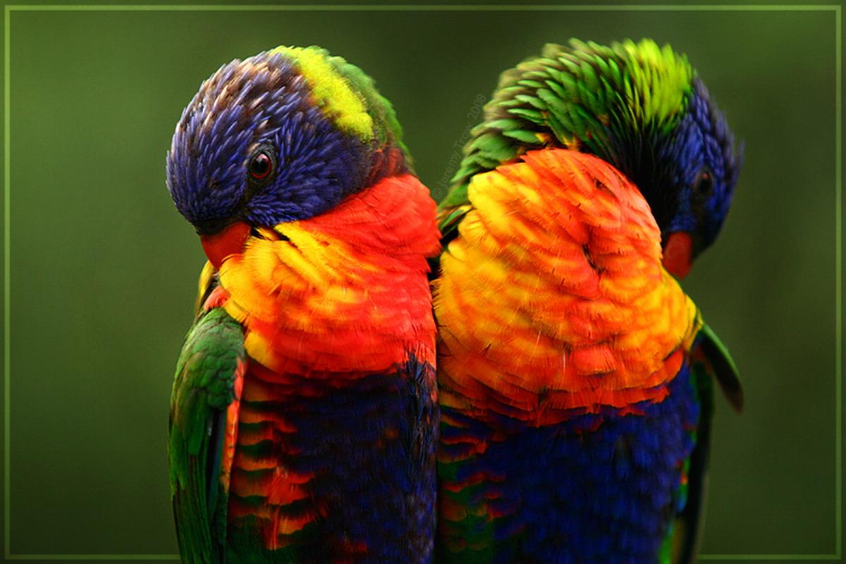 два цветастых попугая, скачать фото, обои на рабочий стол
