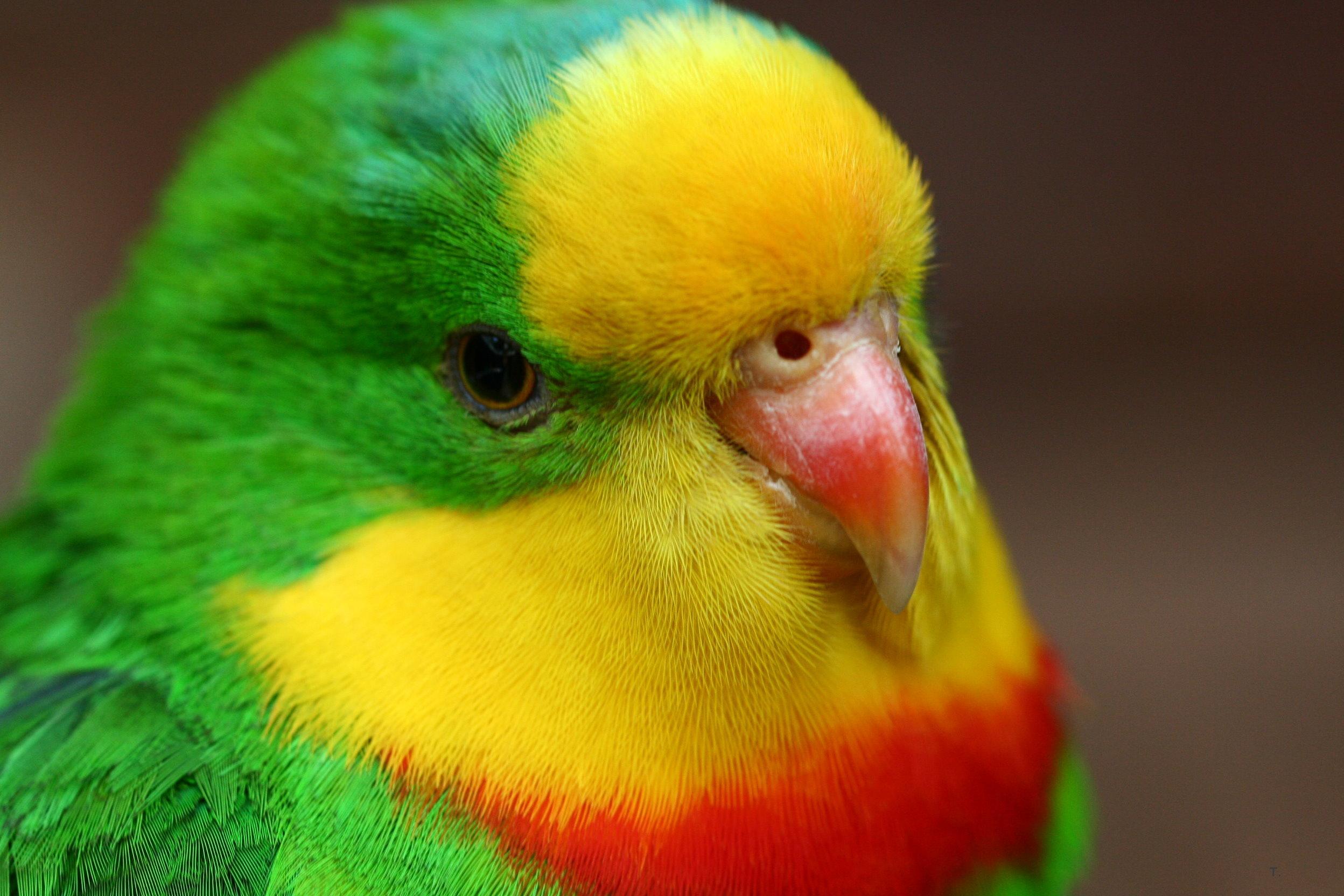 разноцветный попугай, клюв, скачать фото, обои для рабочего стола