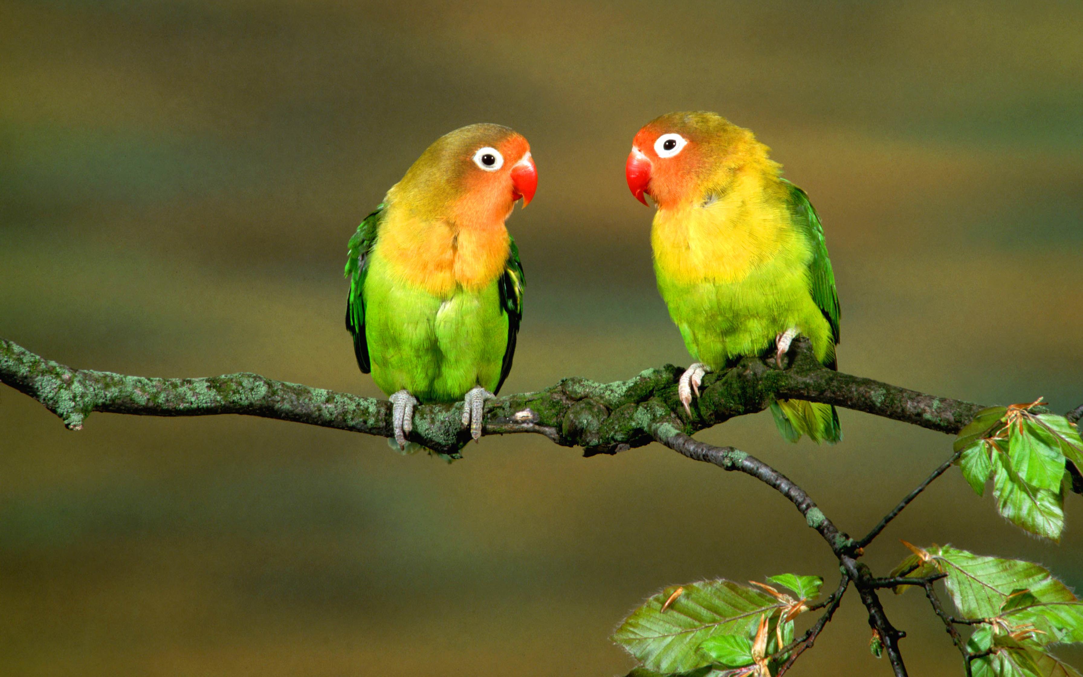 два цветных попугая сидят на ветке дерева, скачать фото, обои для рабочего стола