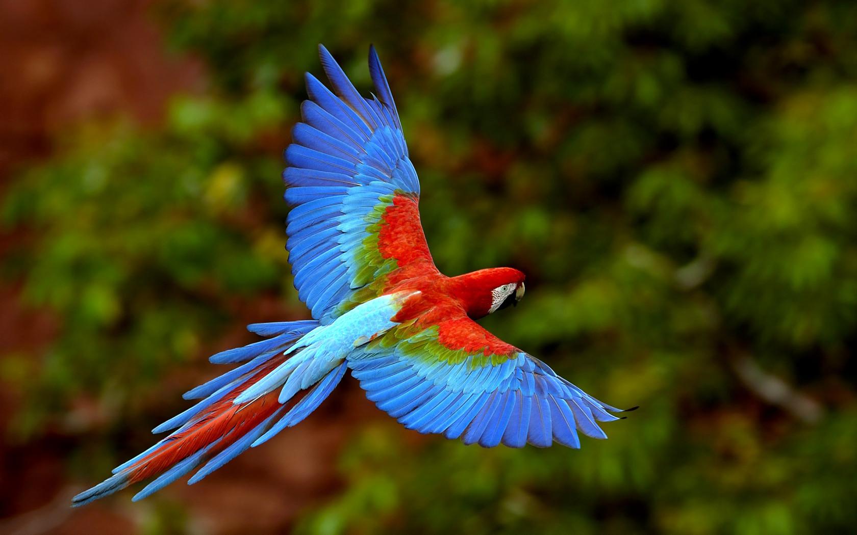 сине-красный красивый попугай летит с раскрытыми крыльями на фоне деревьев, скачать фото, обои для рабочего стола