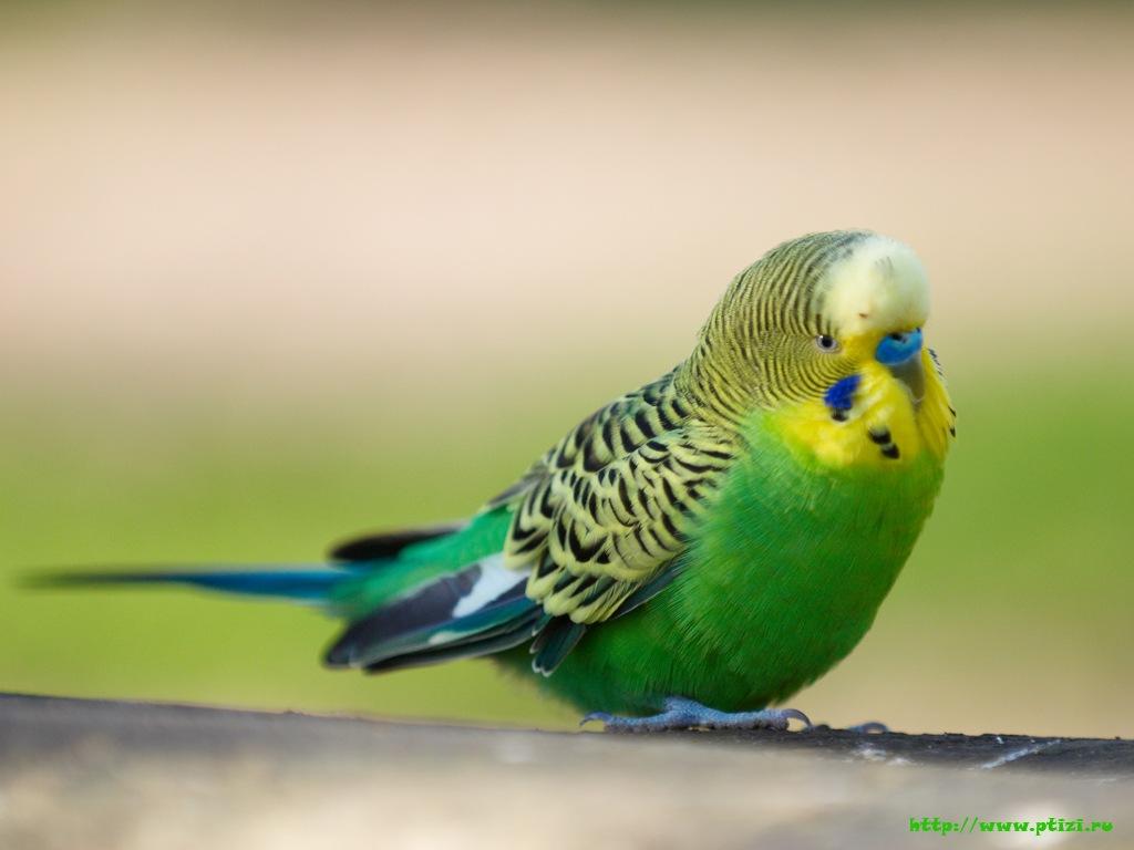 green parrot, зеленый волнистый попугайчик, сачать фото, бесплатно