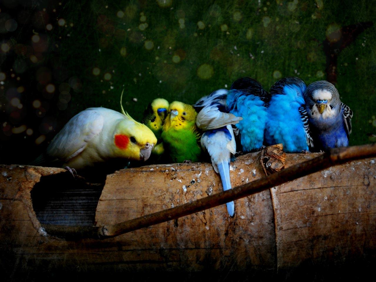 разноцветные попугаи, скачать фото, обои для рабочего стола