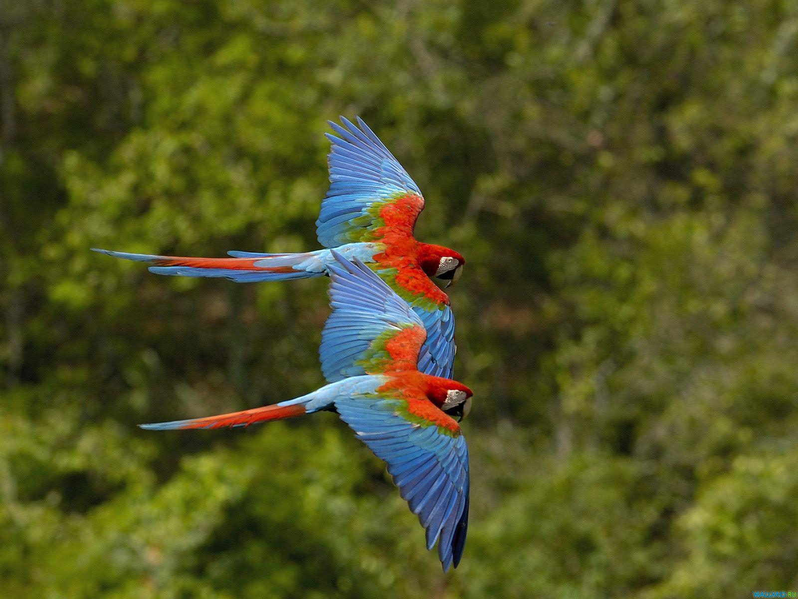 два сине-красных попугая летят на фоне деревьев, скачать фото, обои для рабочего стола