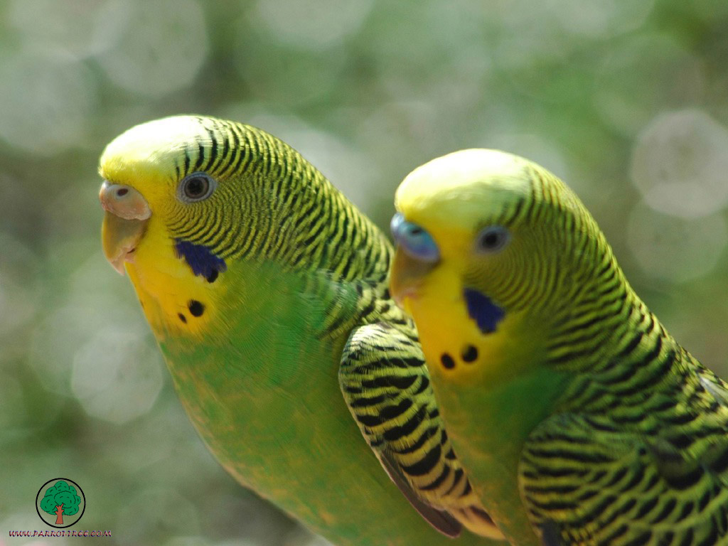 два зеленых волнистых попугая сидят, скачать фото, обои на рабочий стол