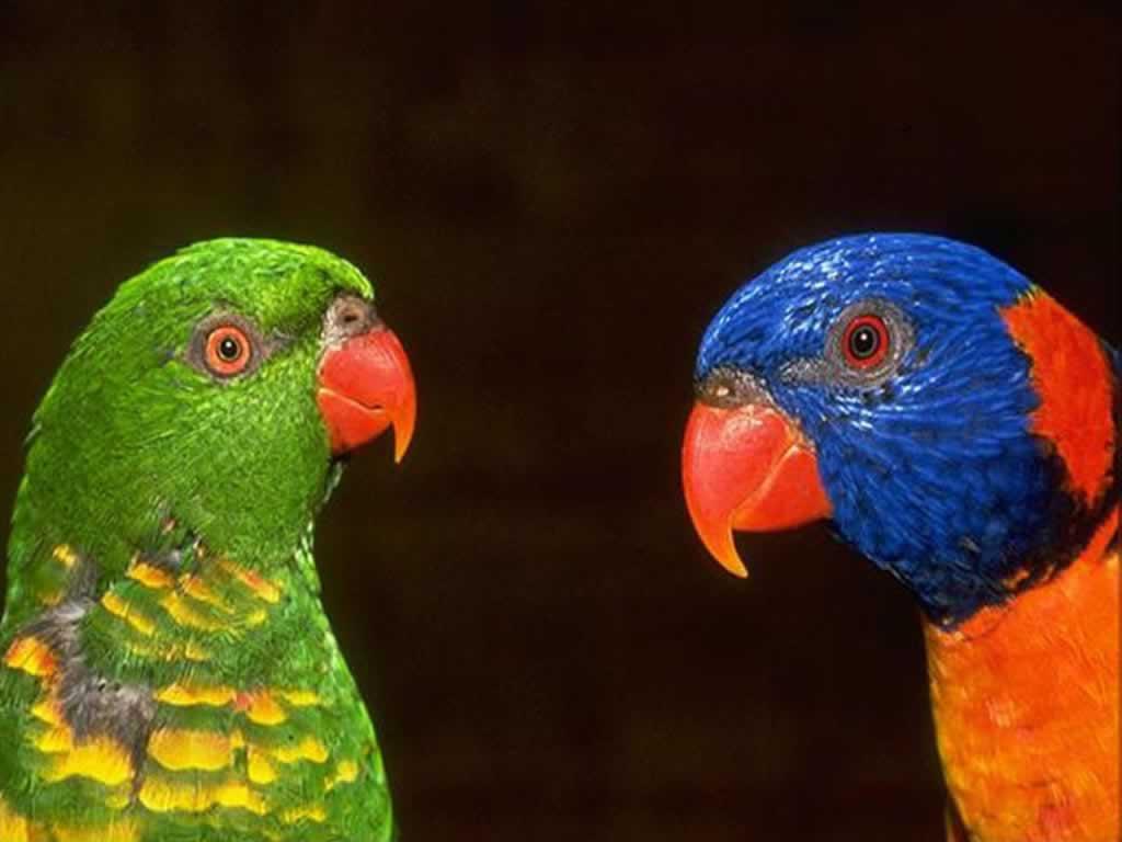 пара разноцветных, цветастых попугайчиков, скачать фото