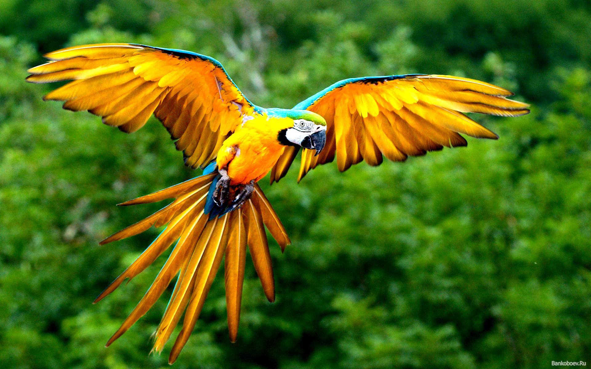 оранжевый попугай летит, раскрыв крылья, на фоне зеленой листвы, скачать фото, обои для рабочего стола