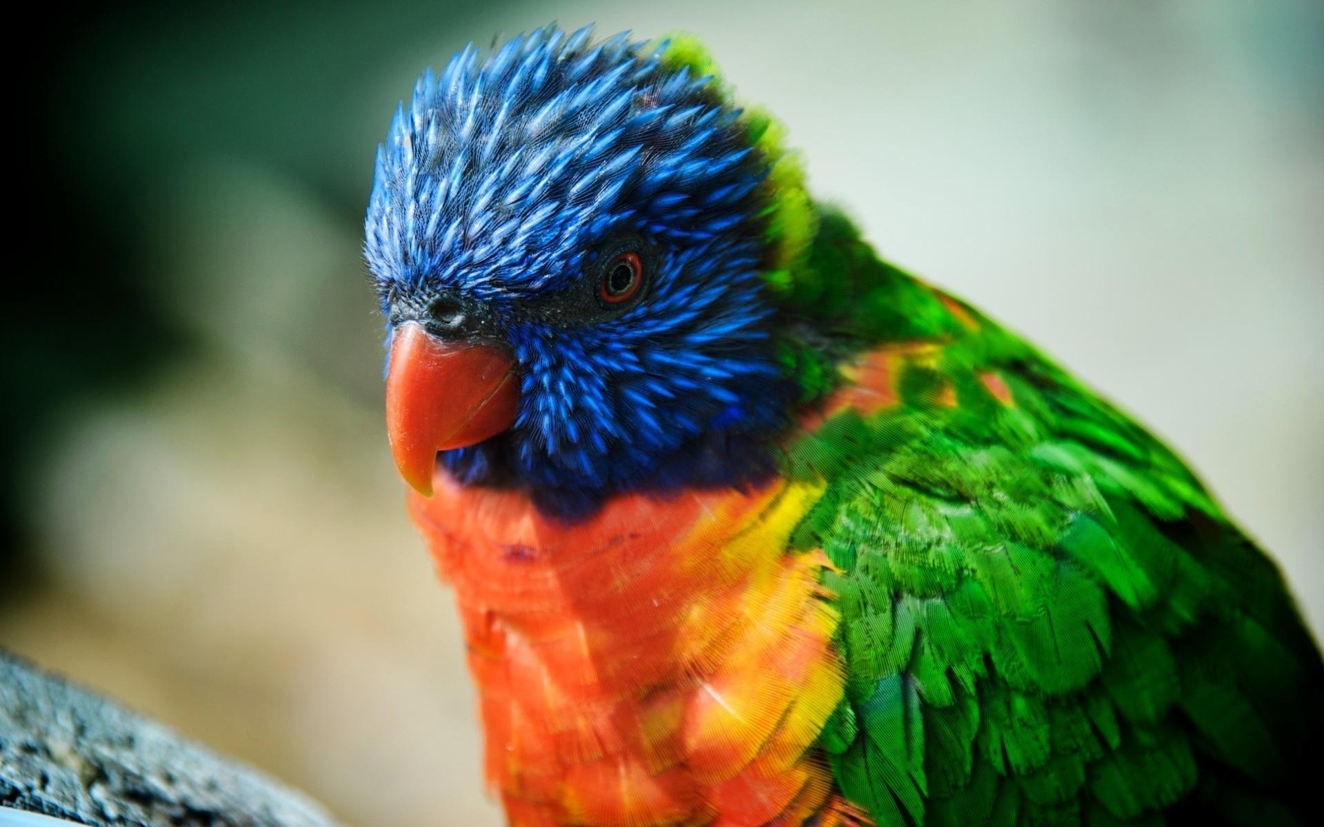 Красивый, цветастый попугай, скачать фото, обои на рабочий стол