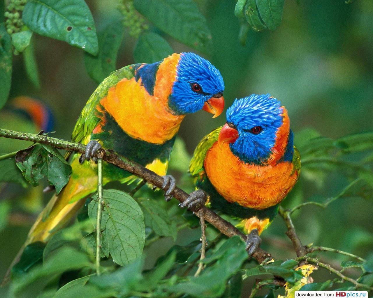 парочка красивых попугайчиков, скачать фото, бесплатно