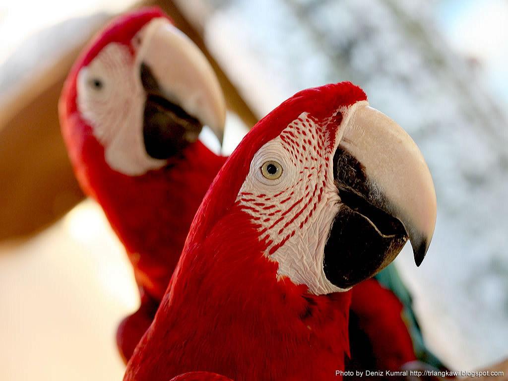 два красных попугая сидят вместе, скачать фото, обои на рабочий стол