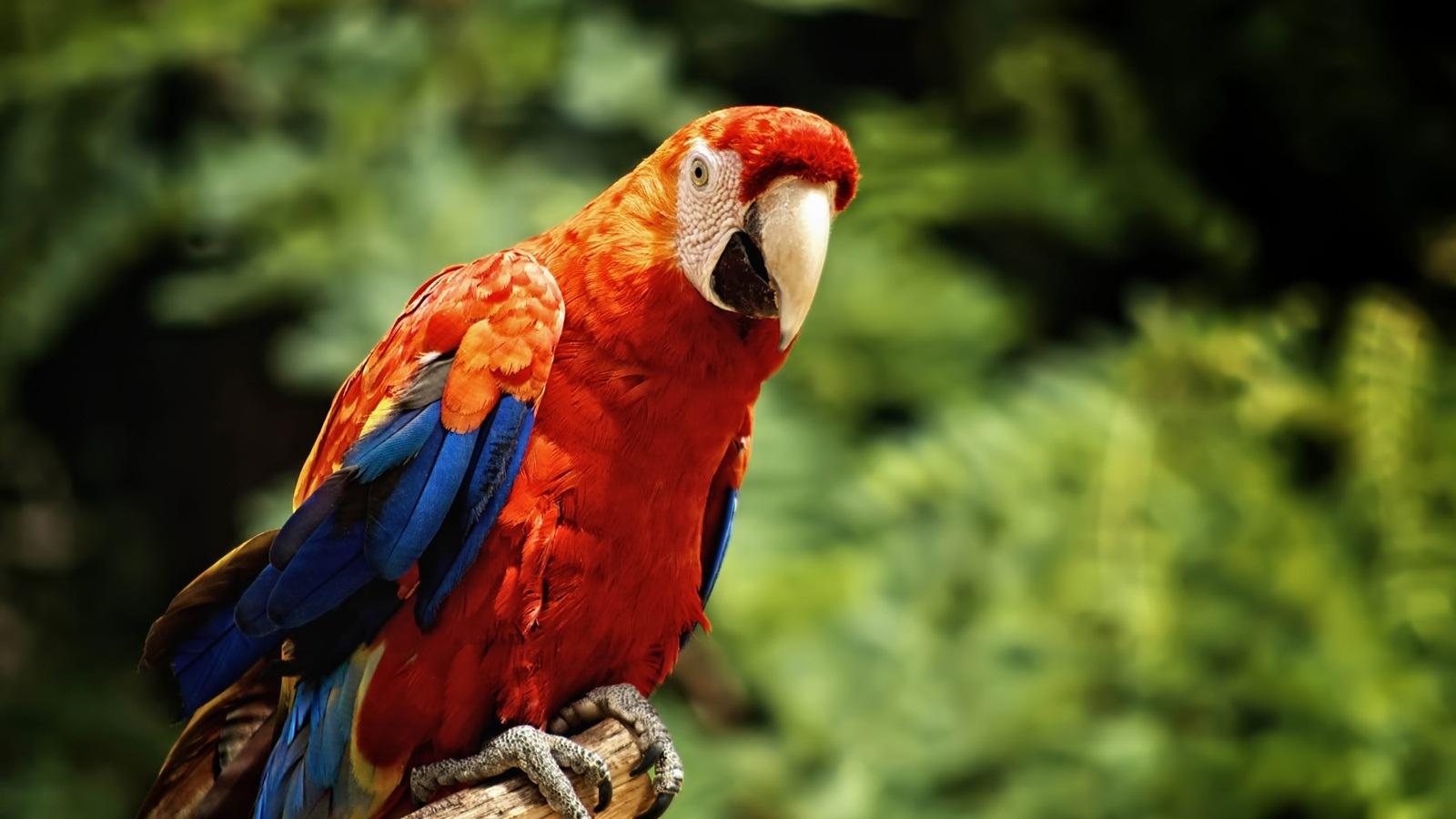 Красный попугай на фоне зеленой листвы, скачать фото, обои для рабочего стола