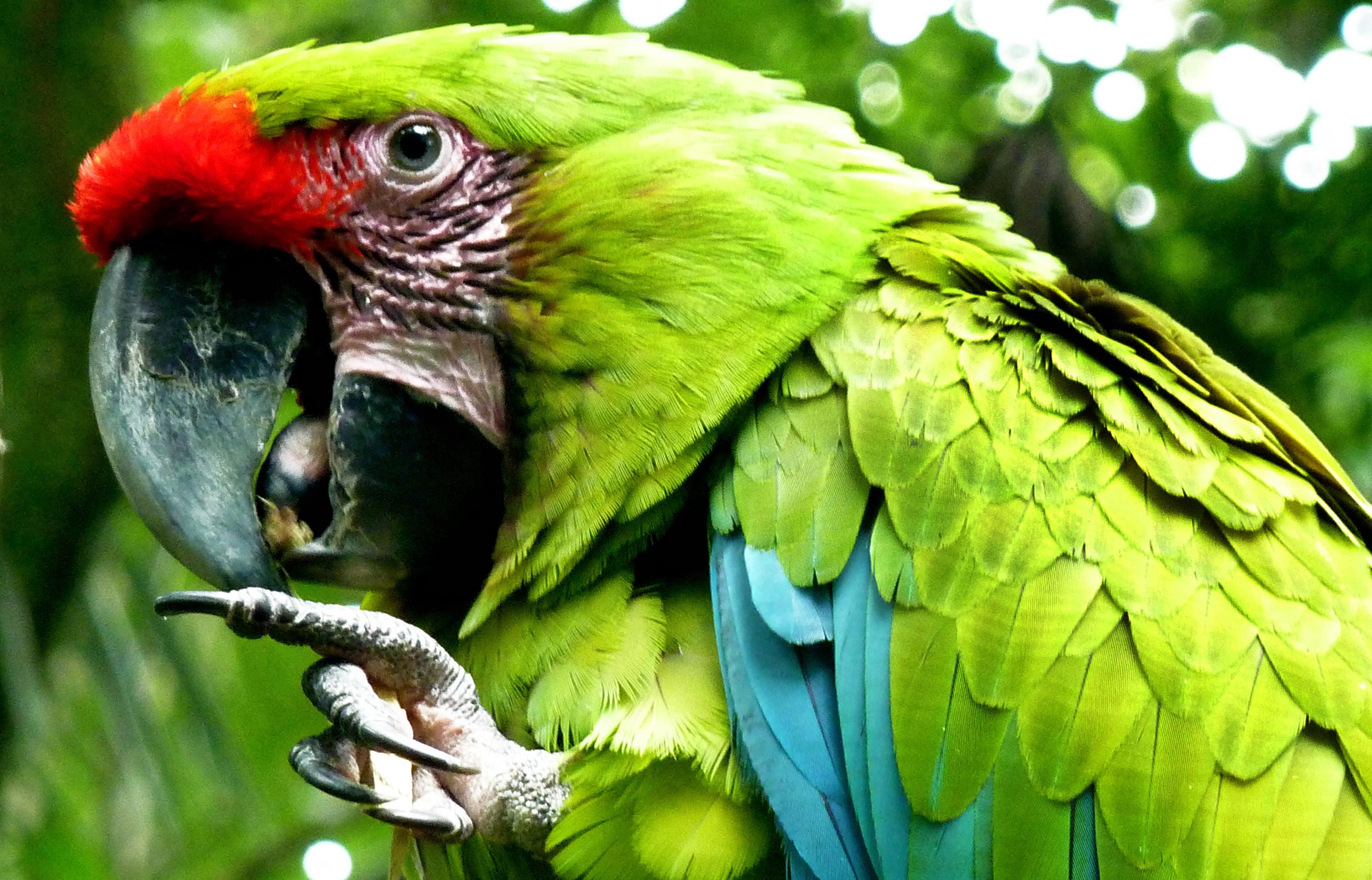 красивый зеленый попугай, скачать фото, обои на рабочий стол