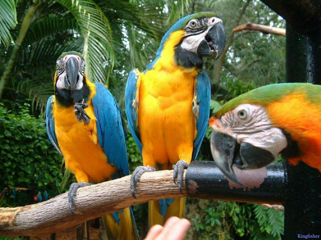 три попугая с оранжевыми перьями, скачать фото, обои на рабочий стол