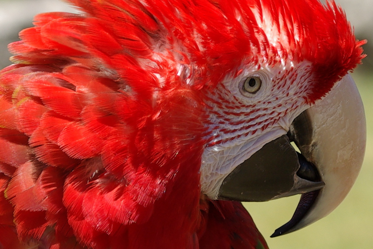красноперый, красноголовый попугай, скачать фото, обои для рабочего стола, red parrot