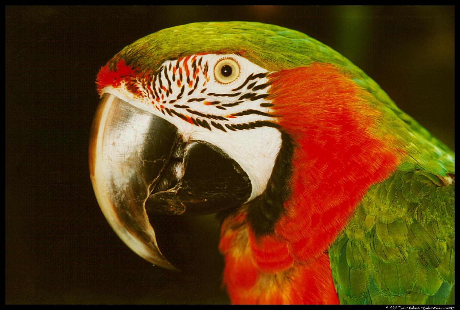 зелено-красный попугай на черном фоне, клюв, скачать фото, бесплатно