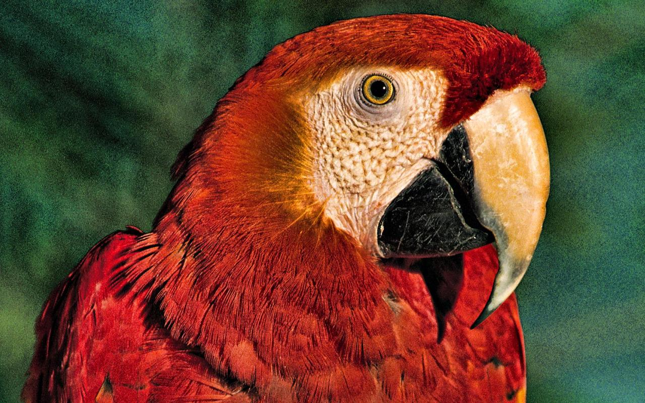 красный попугай, скачать фото, обои для рабочего стола