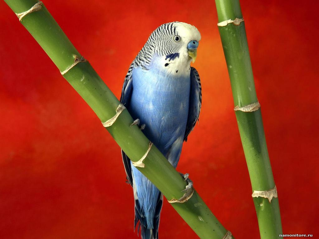 волнистый попугайчик сидит на бамбуковой палке на красном фоне, скачать фото, обои на рабочий стол