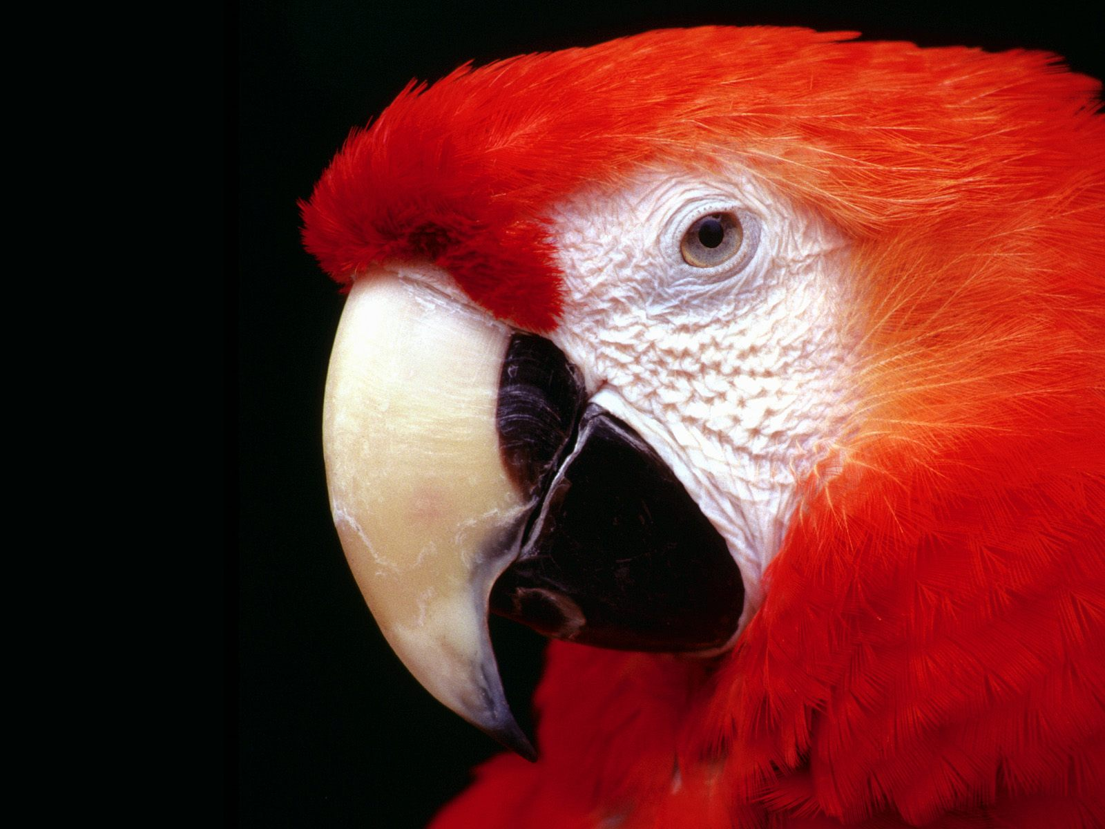 красноголовый попугай, скачать фото, обои для рабочего стола
