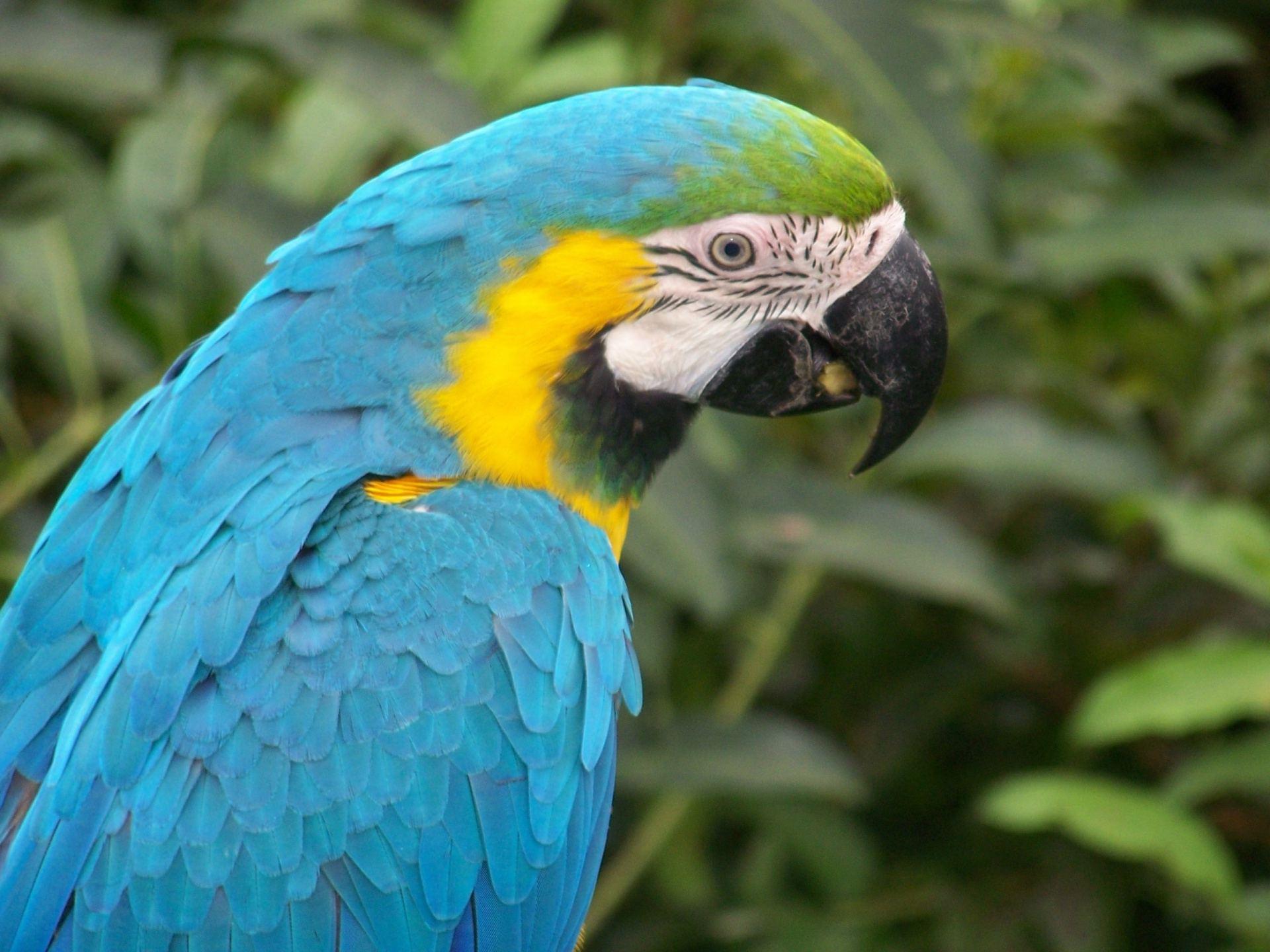 синий попугай, сачать фото, blue parrot