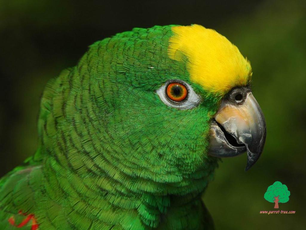 green parrot, зеленый попугай, скачать фото, обои для рабочего стола