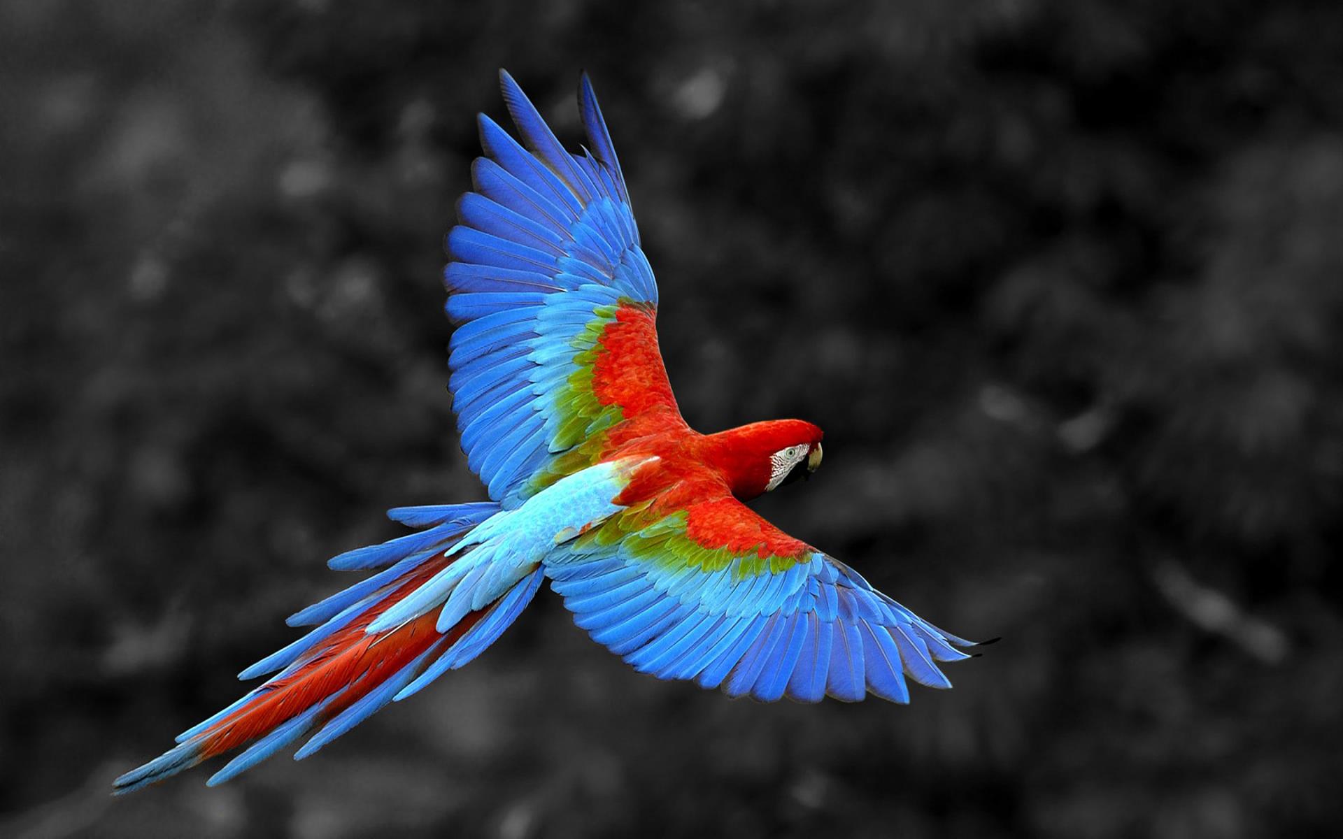 сине-красный попугай летит на фоне листвы, скачать фото, обои для рабочего стола