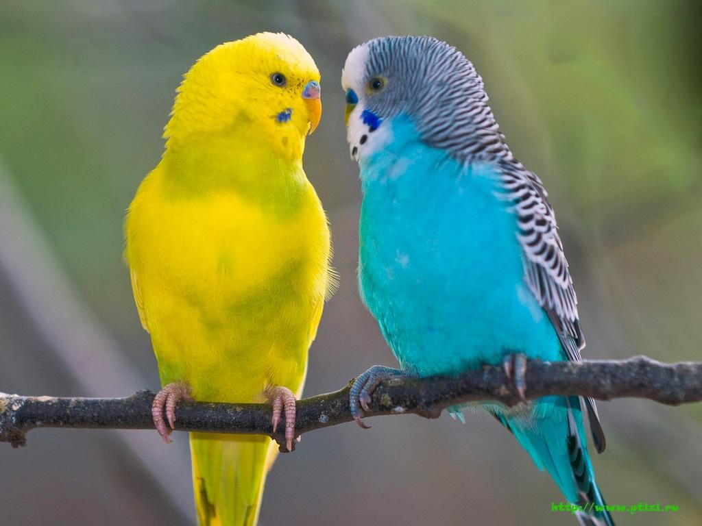 парочка волнистых попугайчиков сидят на ветке, скачать фото, обои для рабочего стола, попйгаи